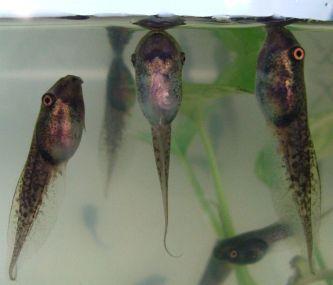 fressen und gefressen werden amphibien