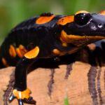 salamander10